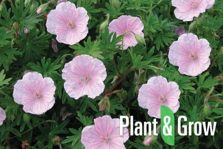 geranium planten
