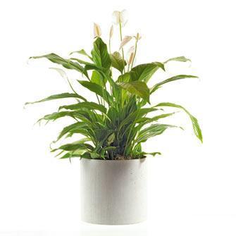 spathiphyllum-in-sierpot