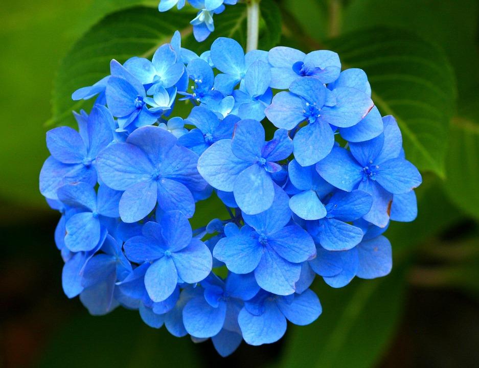 blauw hortensia